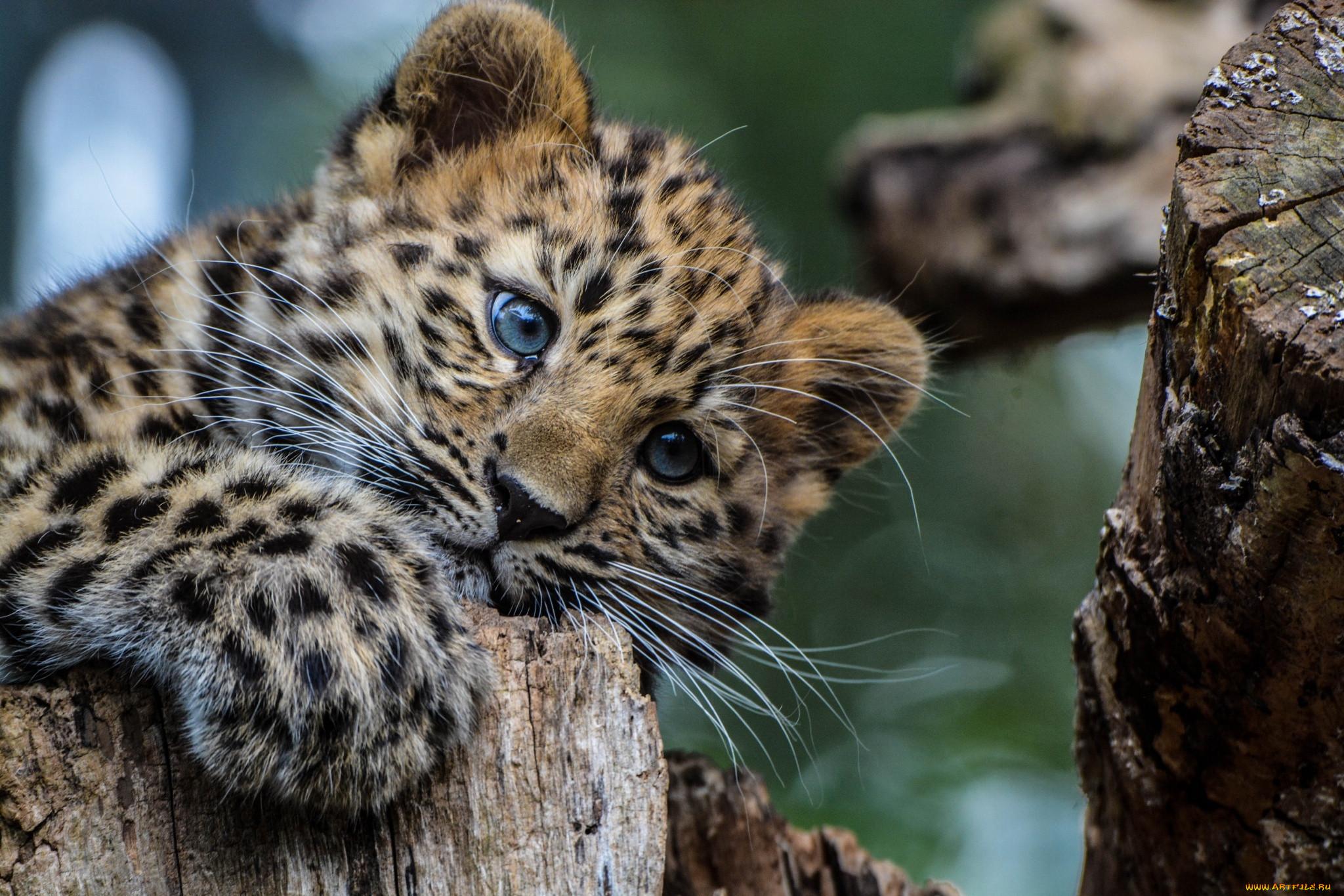 признавалась, что дальневосточный леопард фото на рабочий стол виду карбыш